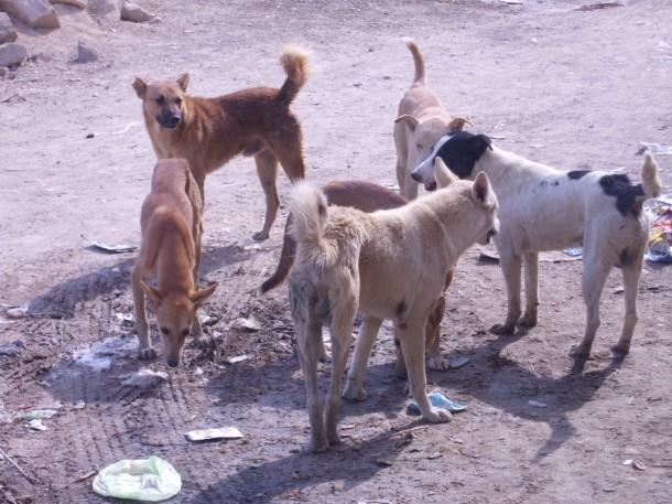 Photo of انتشار الكلاب الضالة يؤرق سكان جماعة المرس