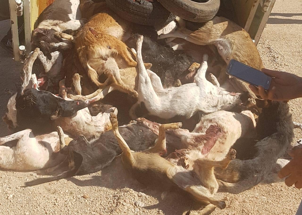 "Photo of جماعة افورار تقوم بحملة ""إبادة"" الكلاب الضالة"