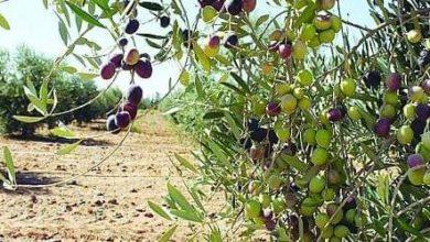 Photo of خنيفرة / سرقة ثمار أشجار الزيتون مشكلة يعاني منها فلاحو بن خليل